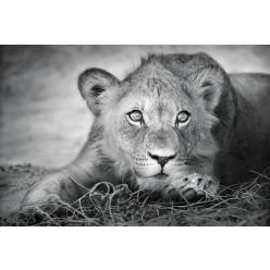 Poster - Affiche lionne