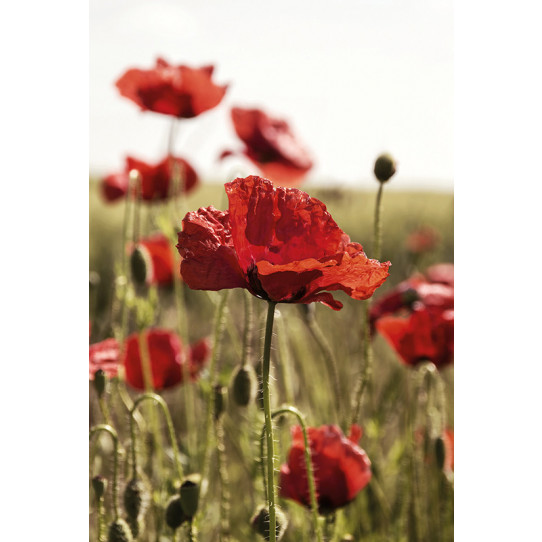 Poster - Affiche coquelicots