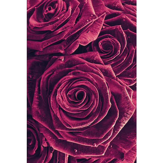Poster - Affiche roses